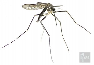 The Asian Tiger Mosquito (Aedes albopictus) is an invasive day-biting mosquito from Asia.