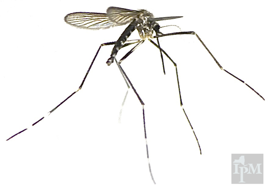 The asian tiger mosquito origin