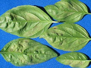 basil with downy mildew