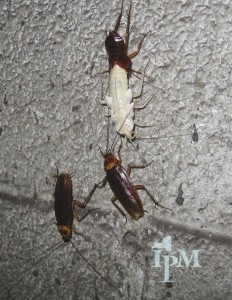 Real-world American cockroaches — note their reddish-brown color — measure about 1.5 inches.