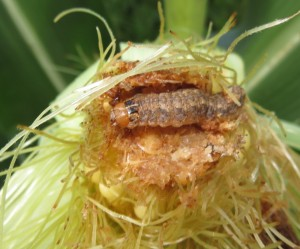 ... the damage these cutworms cause doesn't.