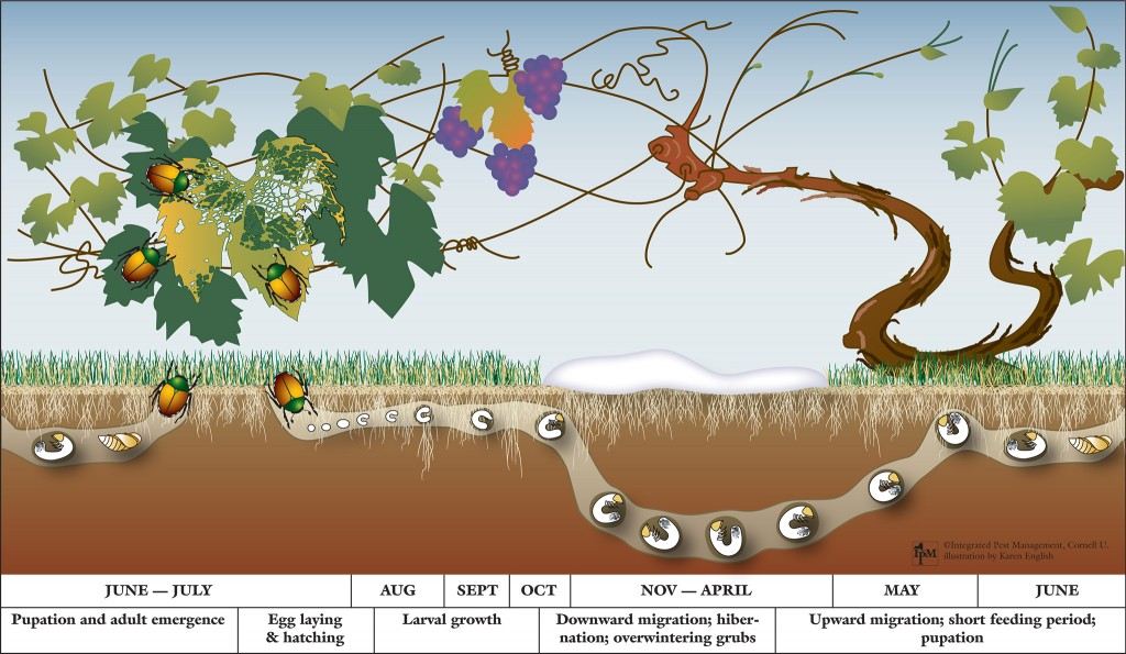 grub life cycle