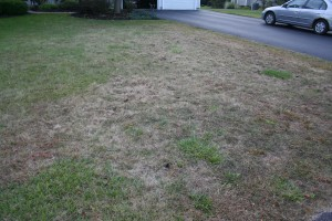 Home lawn infested with grubs