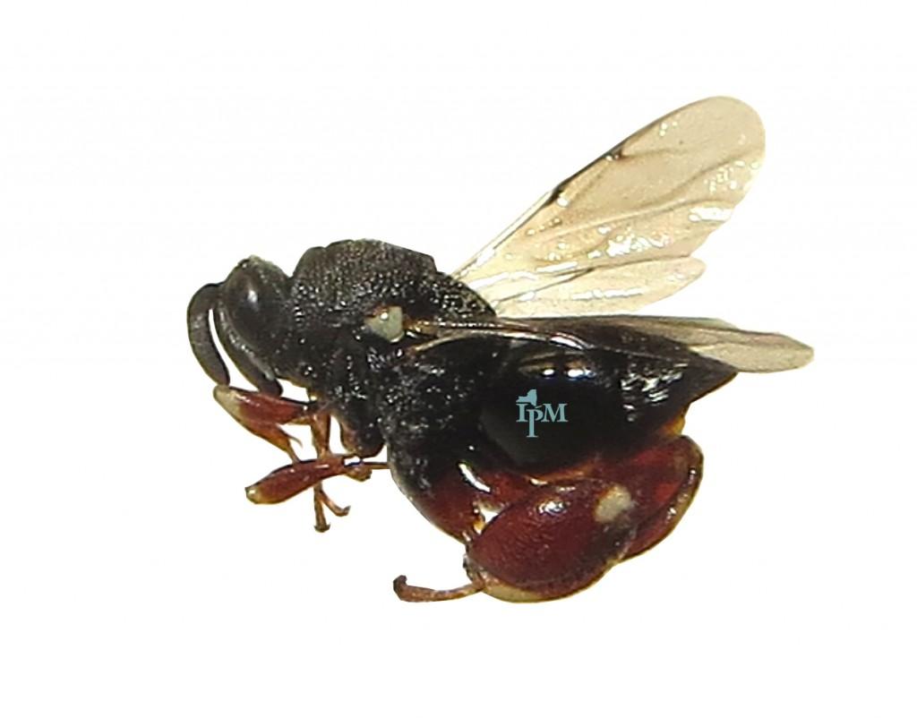 B. fonscolombei