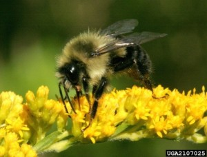 Native to New York, the eastern bumblebee is a big help in gardens, orchards, and fields.