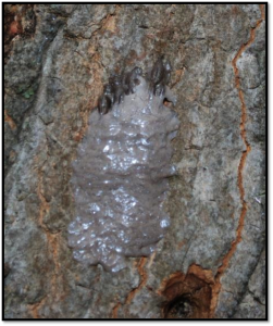 Like a waxy gray putty — that's what you're scouting for to find hitchhiking egg masses. Photo credit: L. Barringer, PA Dep't of Agriculture.