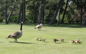 2 adult Canada geese and 7 goslings are shown feeding on a golf course.
