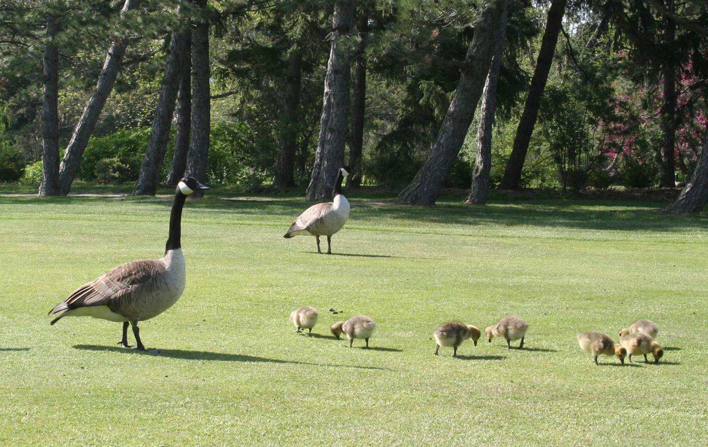 Canada Goose kids sale price - canada geese   New York State IPM Program