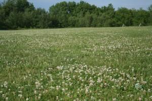 clover_field