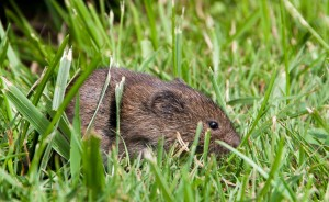 Voles are an example of a non-protected wildlife species. They chew the bark off woody plants and their above ground tunnels can be seen in turfgrass after snow melt. Photo © cyric