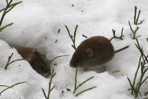 Voles are an example of a non-protected wildlife species. They chew the bark off woody plants and their above ground tunnels can be seen in turfgrass after snow melt. Photo Credit: Tomi Tapio K (Note: Microtus agrestis is related to the two vole species found in NY, Microtus pennsylvanicus and Microtus pinetorum , but is found in Europe.)