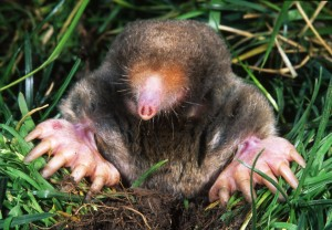 An eastern mole's rare glimpse of daylight.