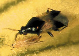 The Oirus bug eats thrips for breakfast, lunch, and dinner — a real boon for greenhouse growers.