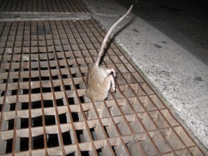 One of our all-time favorite rat pics: Norway rat drops down a grate in the Big Apple, looking for — well, maybe an apple.