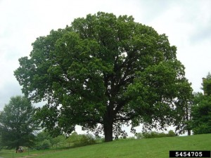 Bur oak  Photo by Jason Sharman, Vitalitree, Bugwood.org