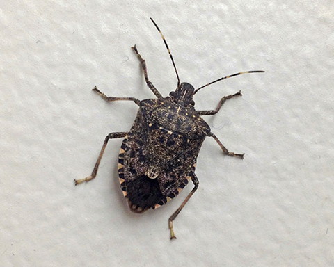 An Unwelcome House Guest: the Brown Marmorated Stink Bug