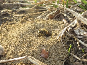 Image shows a mound of soil with a female ground bee sticking her head out.