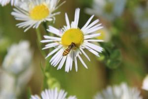 Hover fly on daisy fleabane.