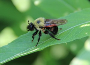 Bumble bee robber fly