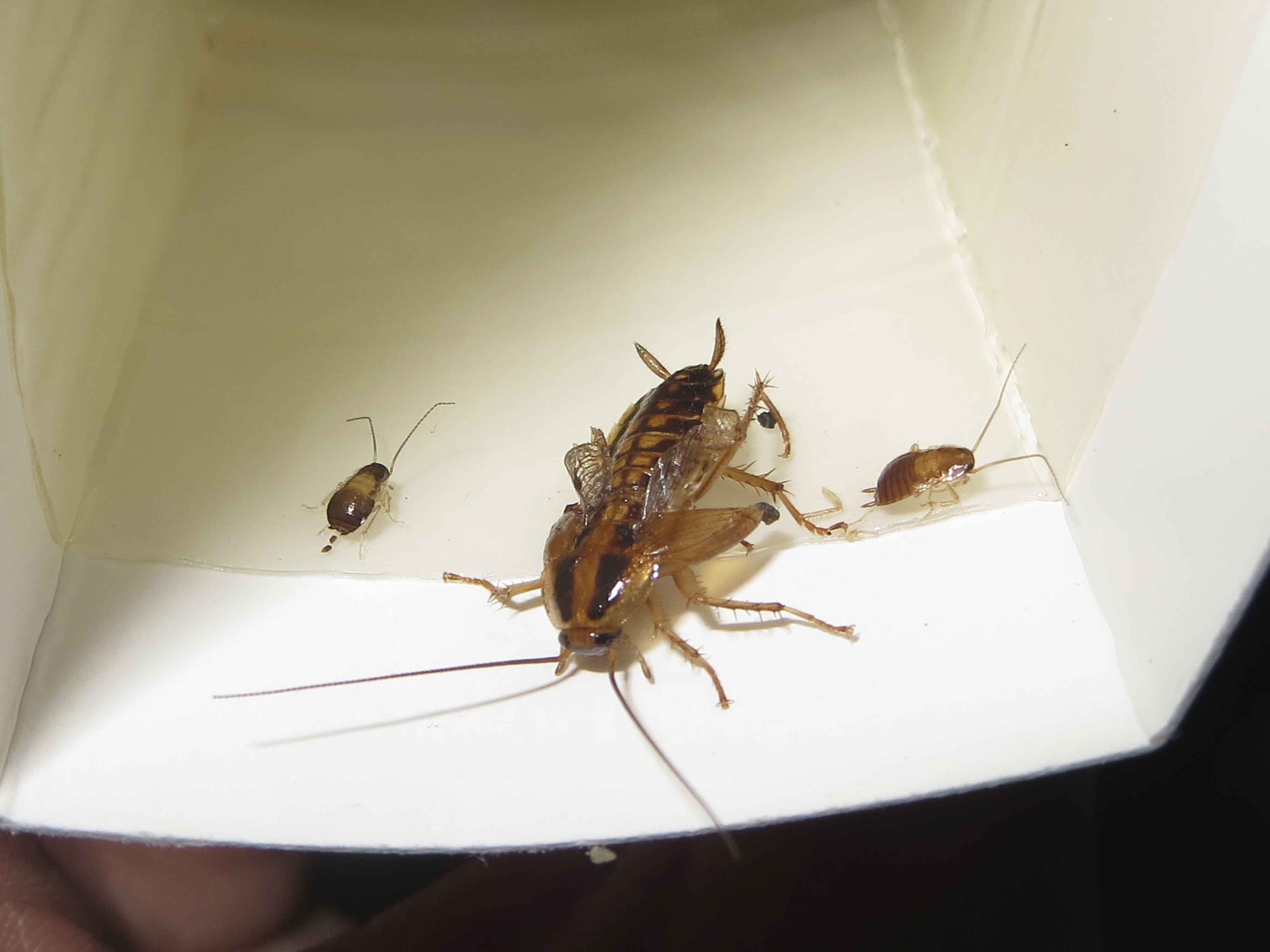 cockroach | New York State IPM Program