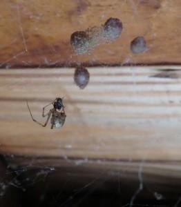 house_spider