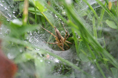 Next time you see a webbed funnel in the grass, see if you can find the grass spider hidden within.