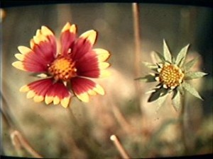 OK, bees don't see red. But gaillardia — blanket flower — has a trick up its sleeve.