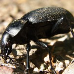 Ground beetles stay close to the ground — and among their ground-dwelling prey? Slugs.