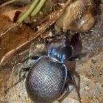 Slugs for dinner — again. This beetle's common name: slug eater.