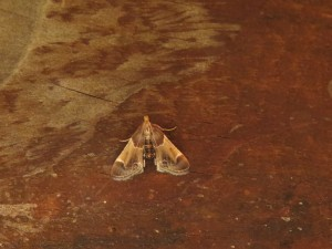 A meal moth, Pyralis farinalis.