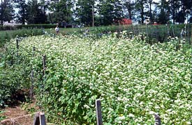Buckwheat contains three allelopathic chemicals. Are they potential herbicides? Could be.