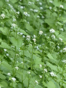 Worried about walnut trees? Garlic mustard is acquiring a nasty reputation of its own.