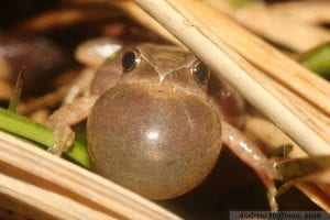 a male spring peeper is shown with its throat fully inflated