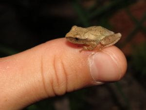 a spring peeper is perched on someone's thumb highlighting how small it is