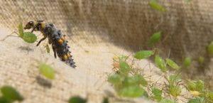 lady beetle larvae Lady beetle larva among the aphids