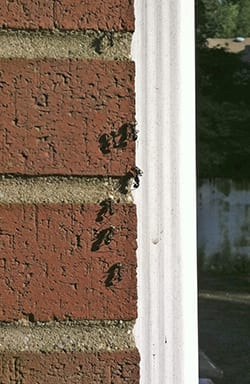 Carpenter ants trailing on the outside of a building