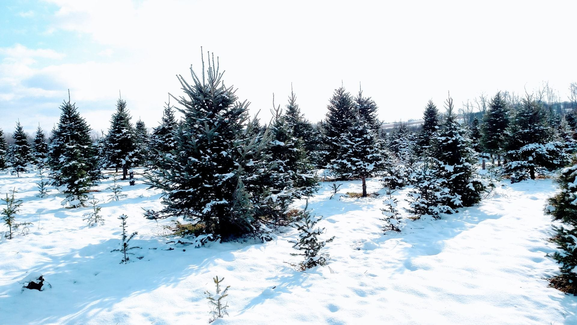 Christmas tree farm in winter
