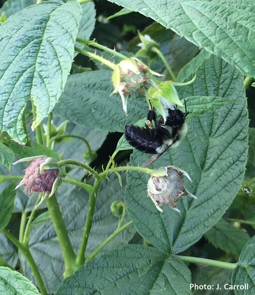 a large wild pollinater feeds on a raspberry flower