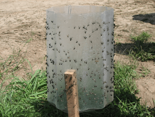 Photo shows a large round cylinder up right like a large water pipe. The surface is sticky and many flies are stuck to it. It's placed outside on the ground.