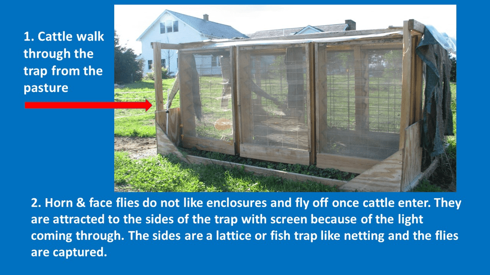 This photo shows a screened in passageway outside, large enough for cattle to pass through. Text on the photo says Horn and faceflies do not like enclosures and fly off toward lights near the outer netting and are trapped.