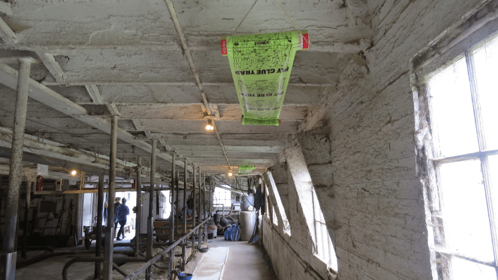 A photo of a wide sticky tape placed across ceiling of dairy barn