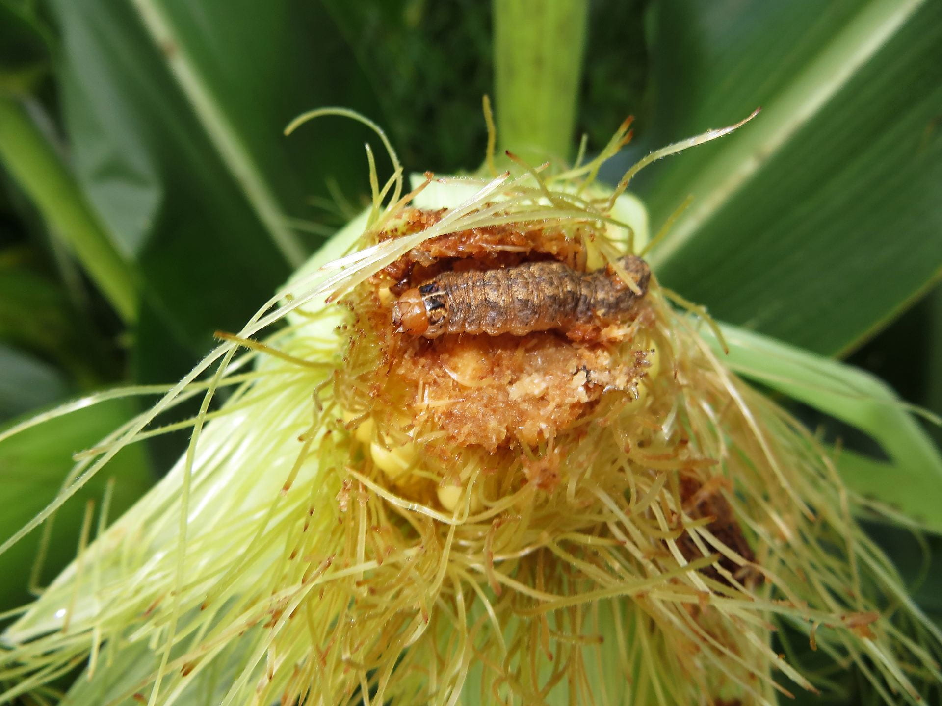 Photo shows a western bean cutworm larva in the tip of a corn cob.