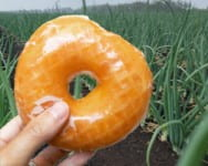Photo shows someone holding a glazed donut with a background of an onion muck field.