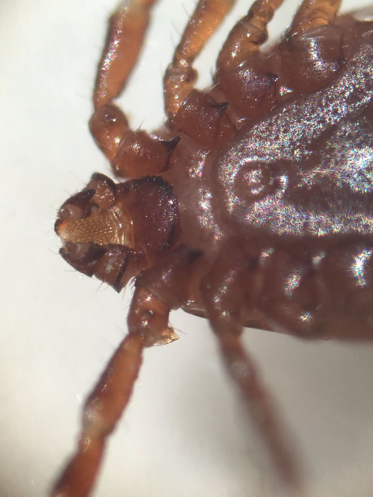 greatly magnified photo of Asian Longhorned Tick.