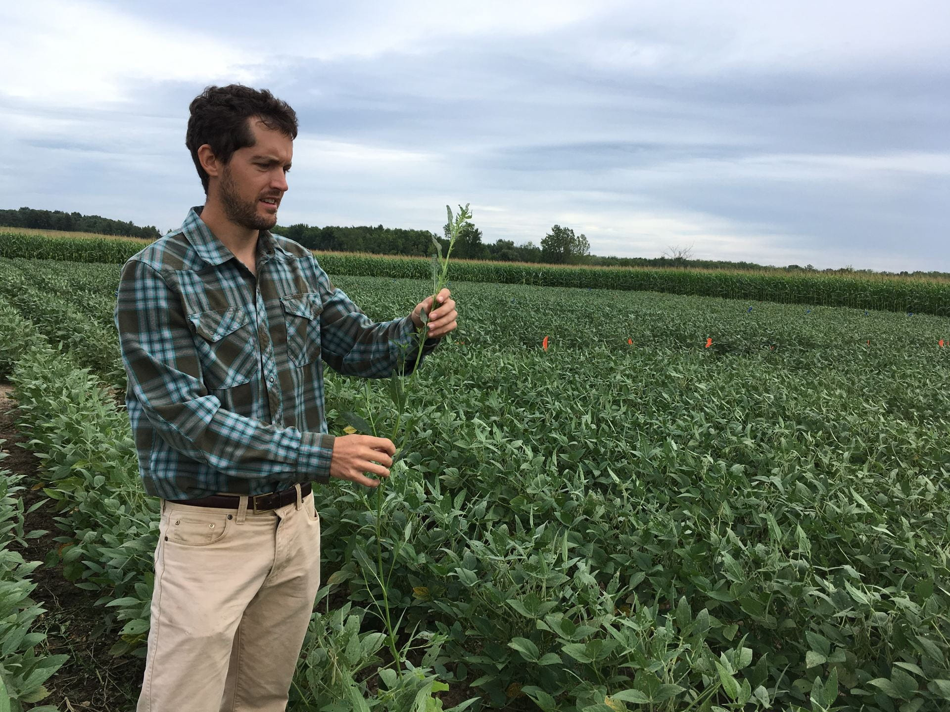 Photo shows Dr. Bryan Brown in a soybean field looking at a waterhemp plant.