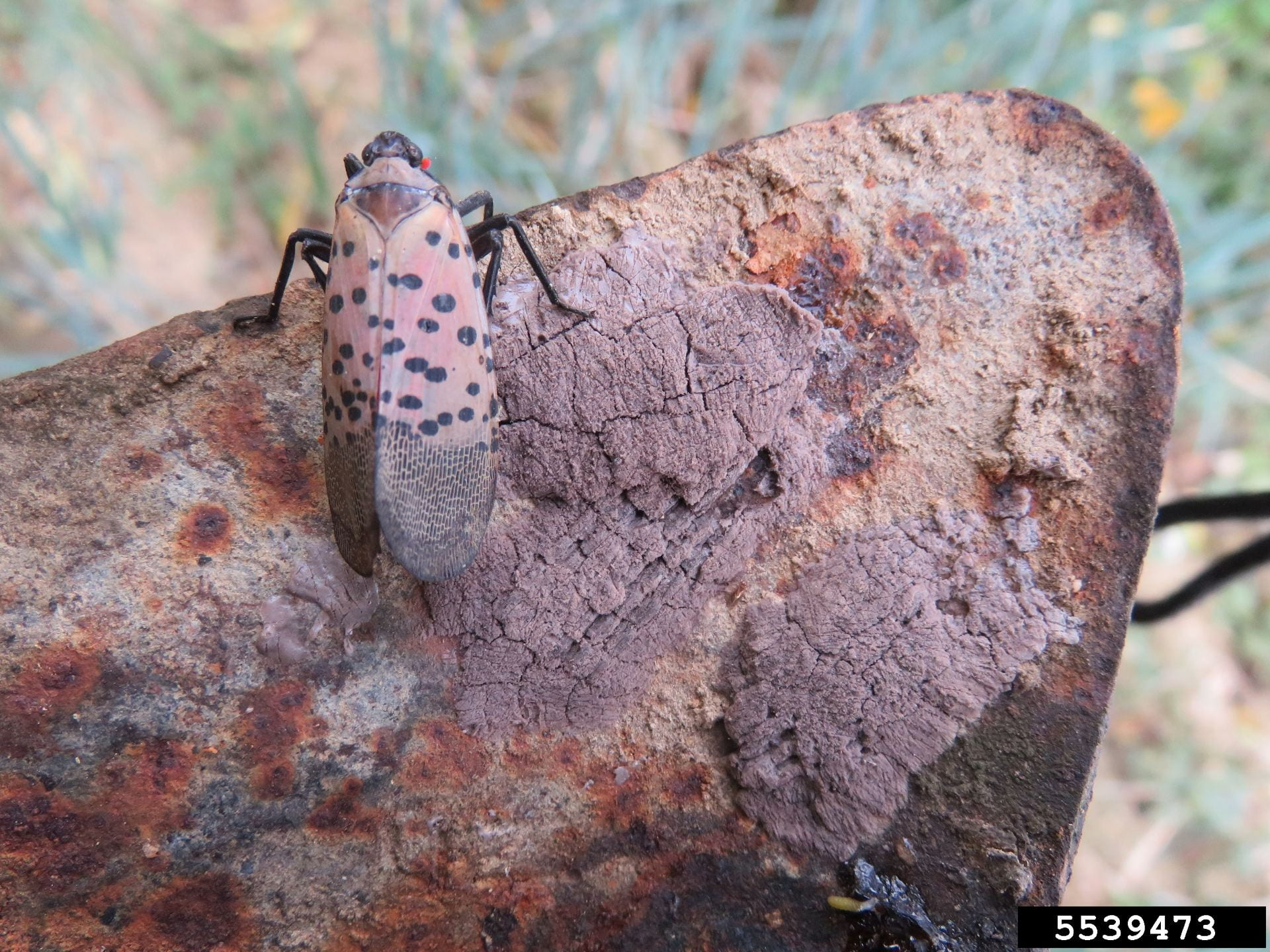 Adult spotted lanternfly with covered egg masses on rusty shovel
