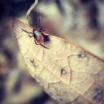 photo of blacklegged tick adult on dried leaf
