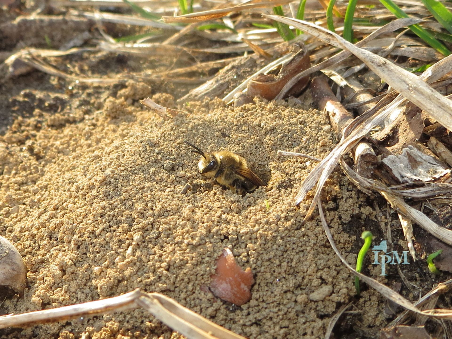 photo of cellophane bee exiting a ground nest