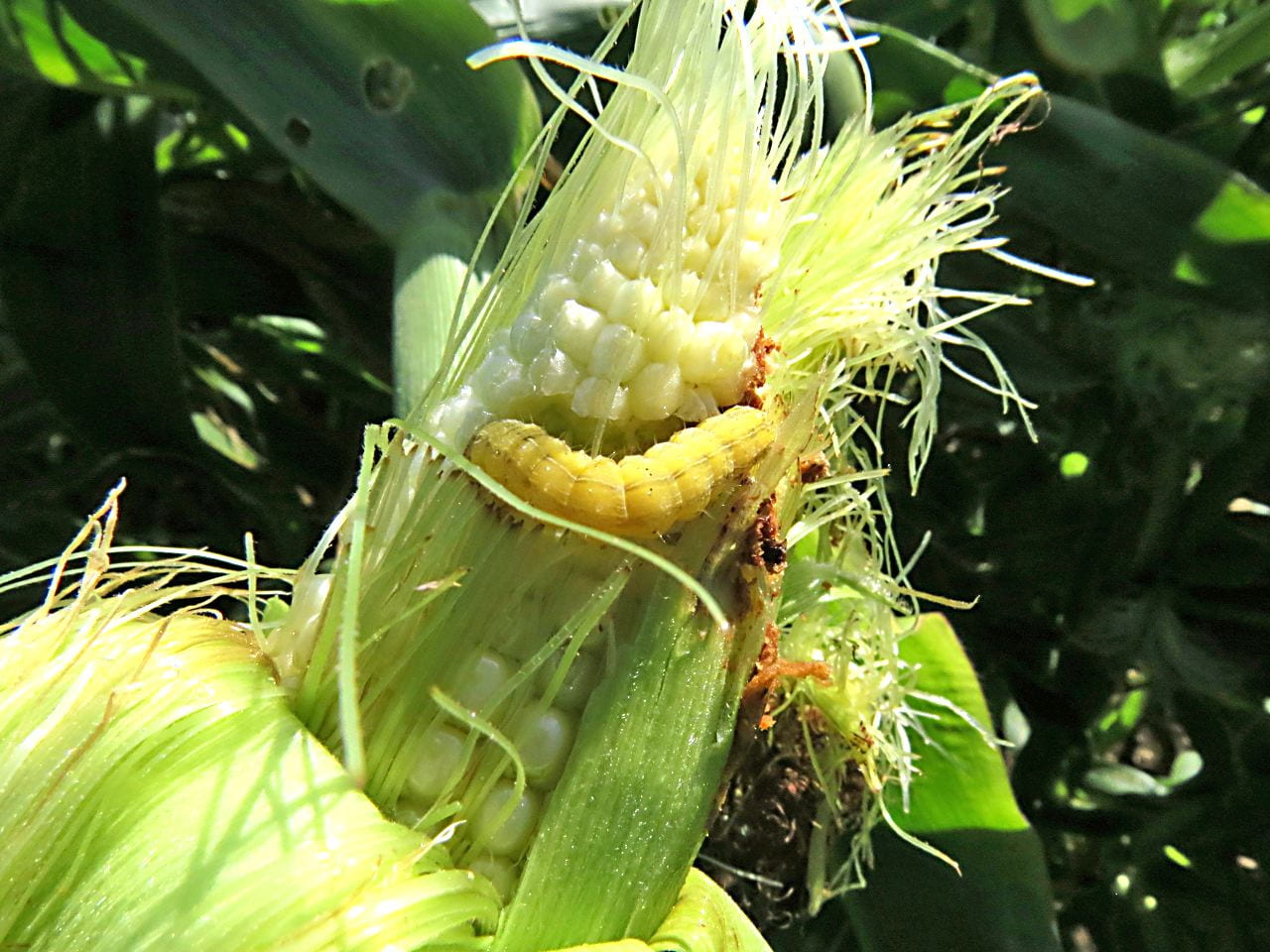 photo of corn earworm on ear of corn