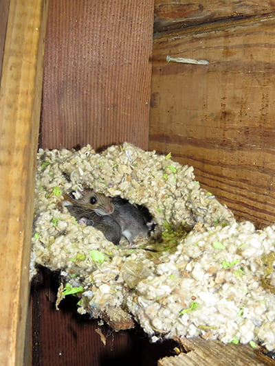 A soft mass in a corner of a wall, between 2x4s, is a mouse nest. Peering out from the entrance is the mother; 2 of her young are visible.